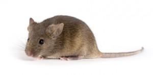 Src: Jax.org/agouti laboratory mouse, F1 Hybrid